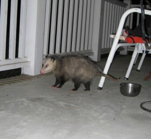 National Possum Awareness Week