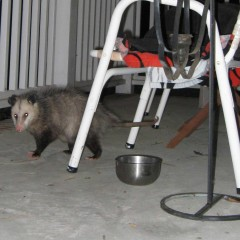 National Possum Awareness Week