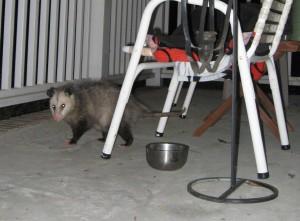 Possum Awareness Week