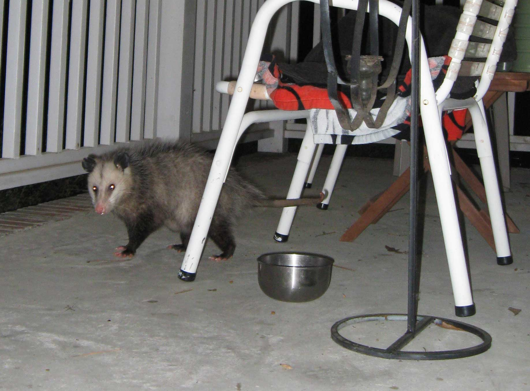 national possum awareness week lizardwebs blog
